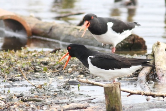 Oystercatchers, 21 March 2015