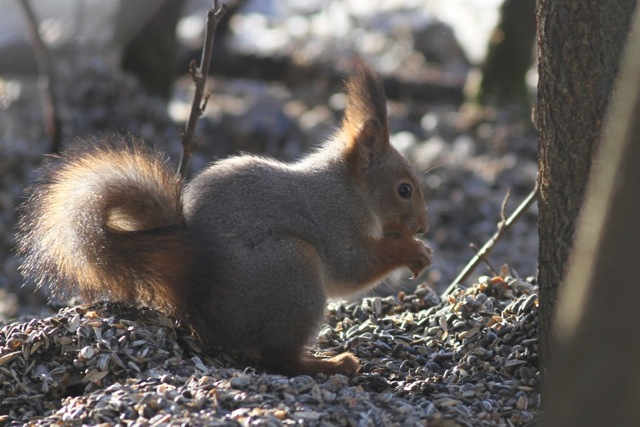 Red squirrel and willow tit in northern Finland (1/6)
