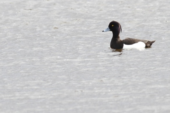 Tufted duck male, 21 March 2015