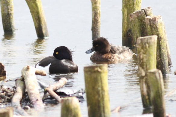 Tufted duck male and female, 21 March 2015