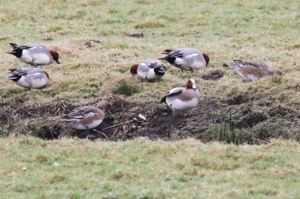 Wigeons, on 21 March 2015