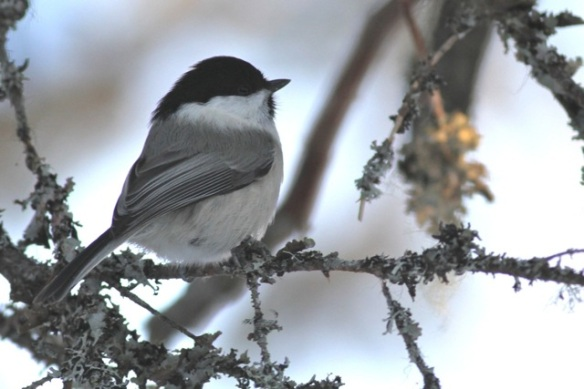 Willow tit, 12 March 2015