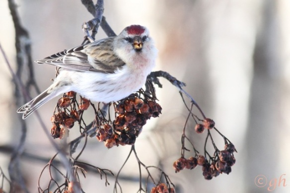 Arctic redpoll, on 14 March 2015