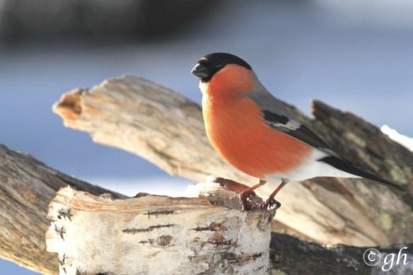 Bullfinch male again, 13 March 2015