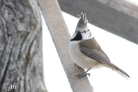 Crested tit again, 13 March 2015