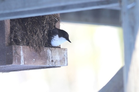 Dipper at nestbox, 16 March 2015