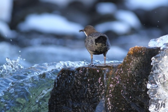Dipper on rock, 15 March 2015