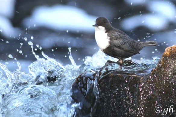 Dipper on rock, water streams past, 15 March 2015