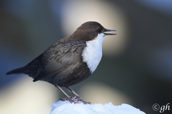 Dipper sings, 16 March 2015