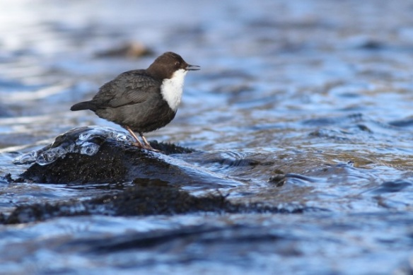 Dipper sings on rock, 15 March 2015