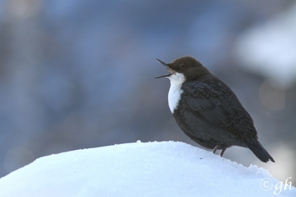 Dipper sings on snow, 16 March 2015