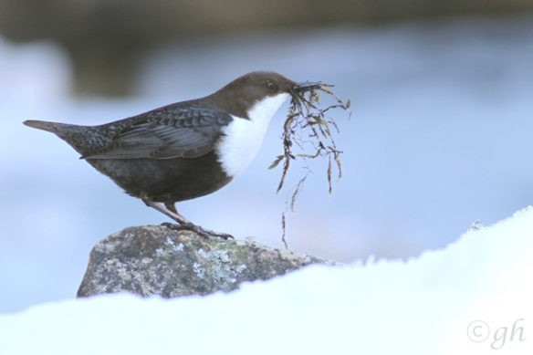 Dipper with nesting material, 16 March 2015