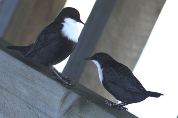 Dippers on bridge, 15 March 2015