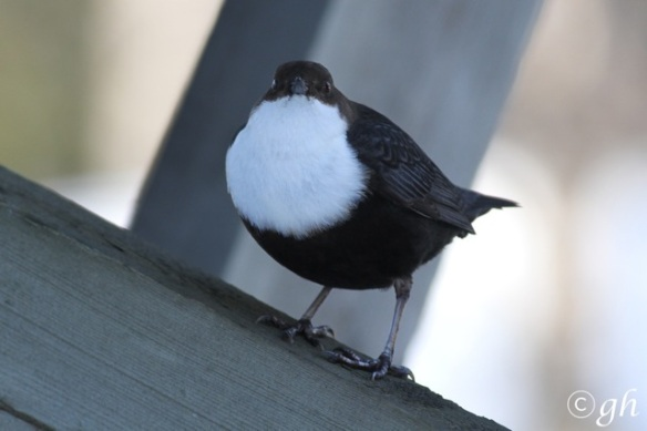 Dipper on bridge, 16 March 2015