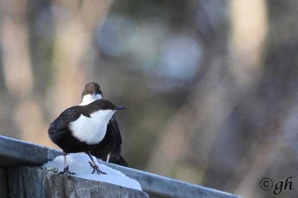 Dippers on bridge again, 15 March 2015