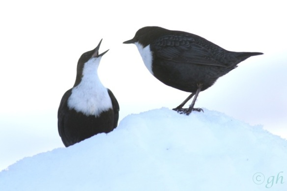 Dippers on snow, 15 March 2015