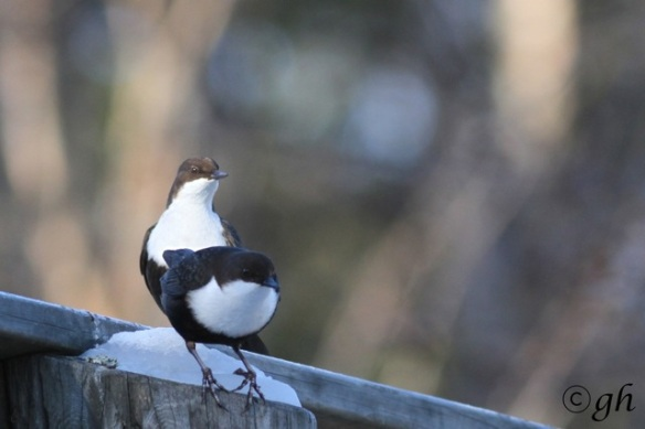 Dippers still on bridge, 15 March 2015