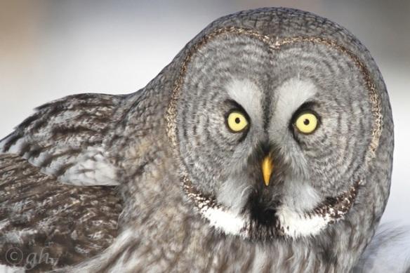 Great grey owl, 14 March 2015
