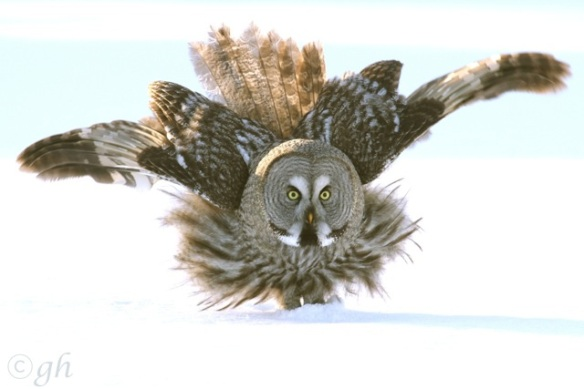 Great grey owl landing, 14 March 2015
