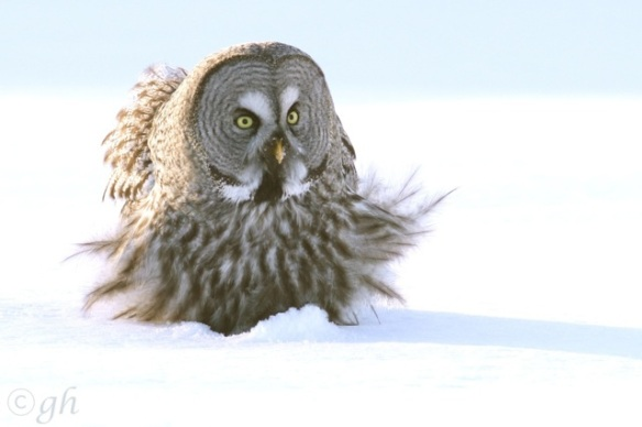 Great grey owl, on 14 March 2015