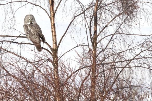 Great grey owl on birch tree, 14 March 2015
