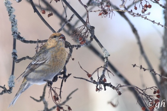 Pine grosbeak female, 14 March 2015