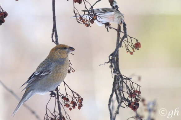 Pine grosbeak female and Arctic redpoll, 14 March 2015