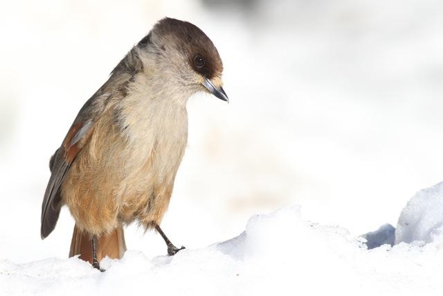 Siberian jays in northern Finland, photos (1/6)