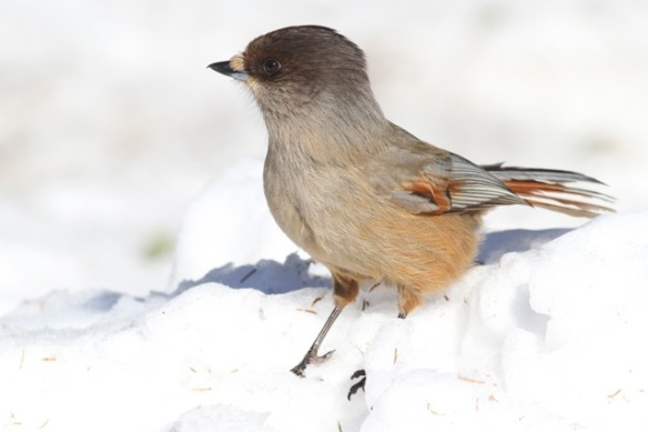 Siberian jay on snow, 15 March 2015