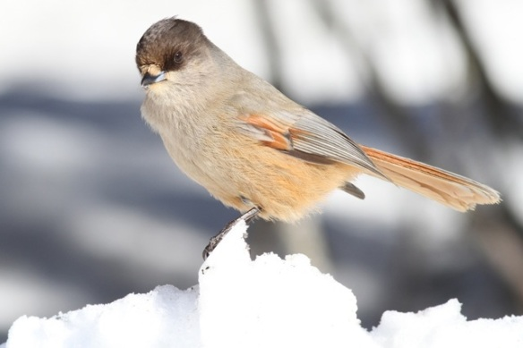 Siberian jay on snow, on 15 March 2015