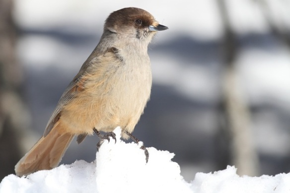 Siberian jay still on snow, 15 March 2015