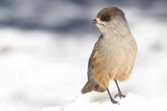 Siberian jay still on snow, turning its head, 15 March 2015