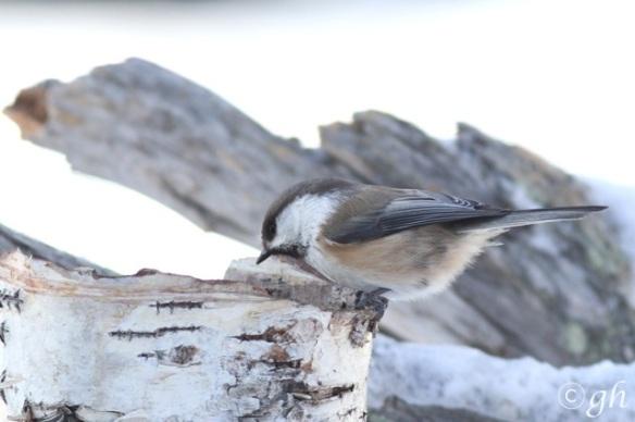 Siberian tit, 13 March 2015