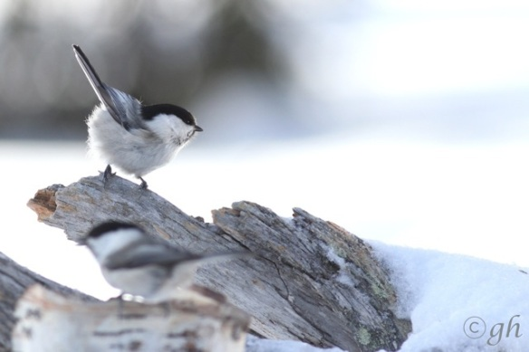 Willow tit and Siberian tit, 13 March 2015