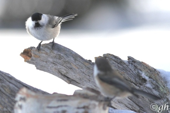 Willow tit and Siberian tit looking at it, 13 March 2015