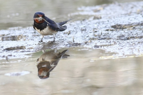 Barn swallow, 3 April 2015