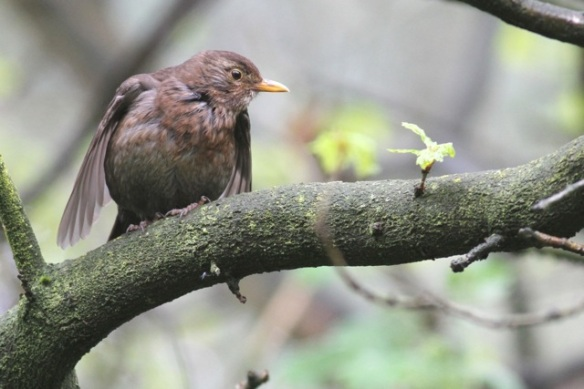 Blackbird female, 5 May 2015