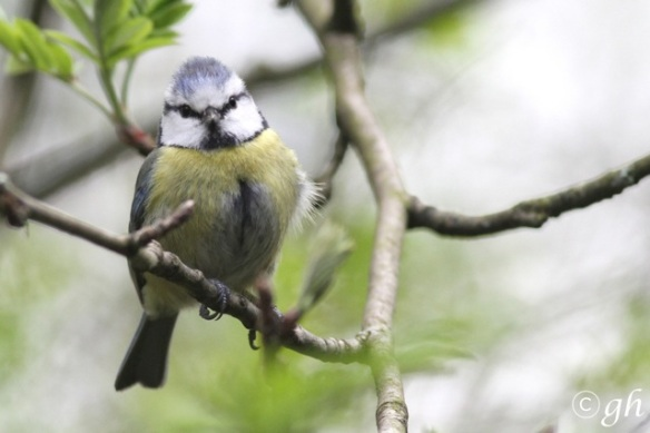 Blue tit, Anholt, 1 May 2015