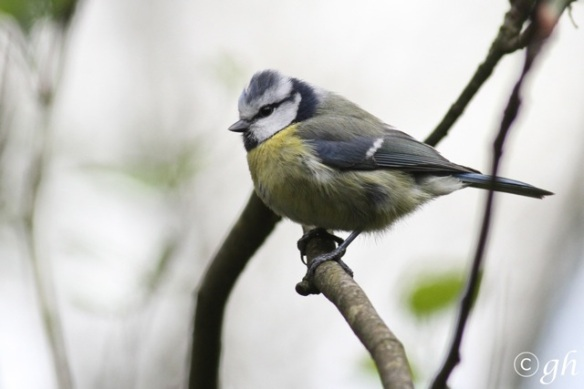 Blue tit, in Anholt, 1 May 2015