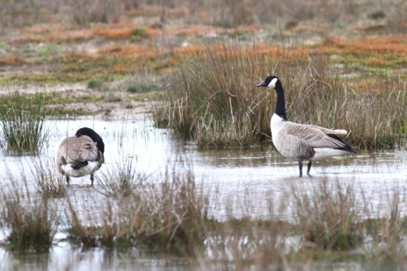 Canada geese, 7 May 2015