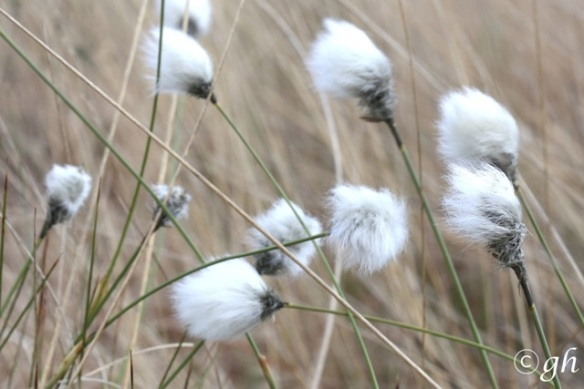 Cottongrass, 7 May 2015