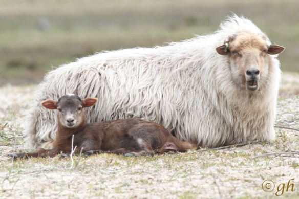 Sheep and lamb, 3 May 2015