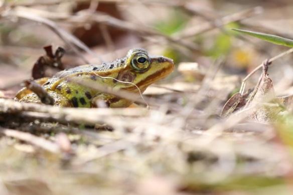 Young pool frog, 5 May 2015