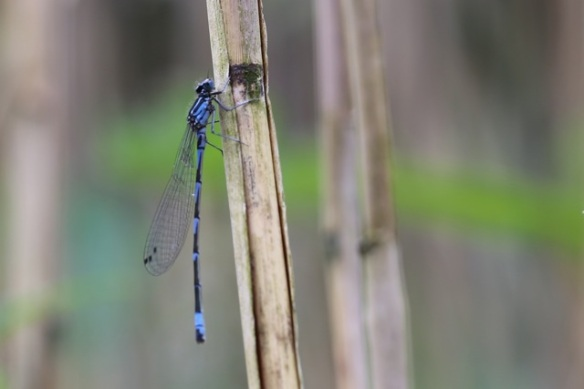 Azure damselfly, 5 June 2015