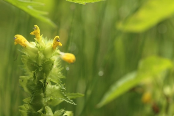 Greater yellow-rattle, 28 June 2015