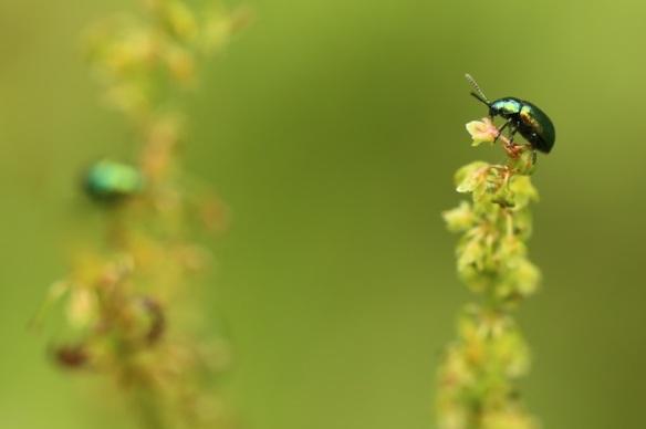 Green dock leaf beetle, 28 June 2015