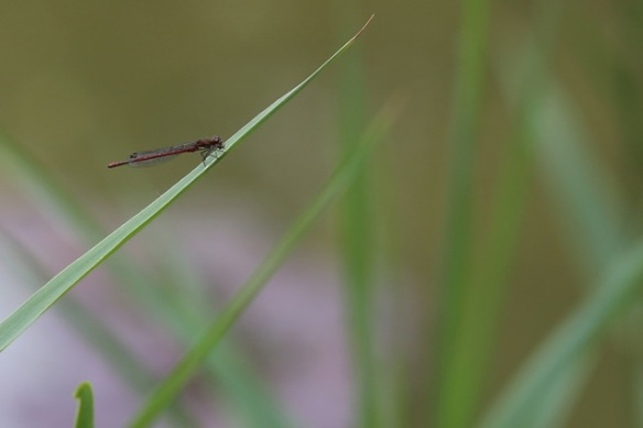 Large red damselfly female, 5 June 2015