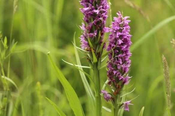 Orchid, 28 June 2015