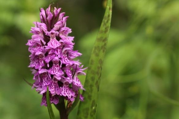 Orchid flowering, 28 June 2015
