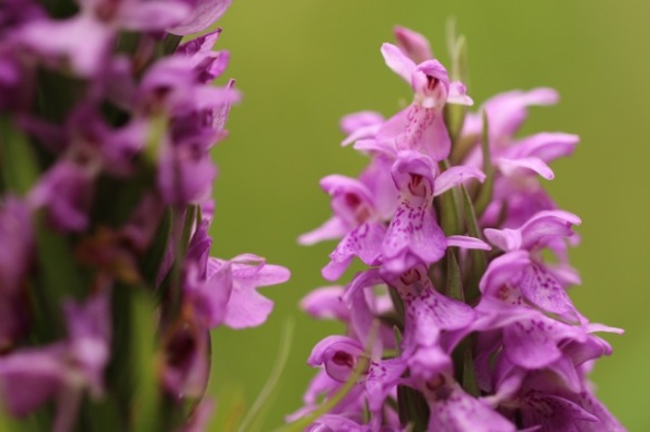 Southern marsh orchid, 28 June 2015